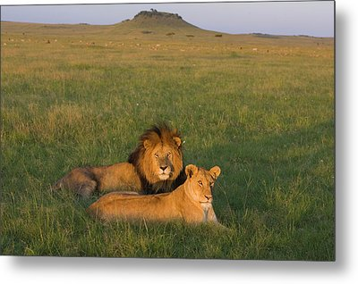 African Lion Panthera Leo Male Metal Print by Suzi Eszterhas