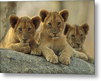 African Lion Three Cubs Resting Metal Print by Tim Fitzharris