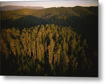 Afternoon Sunlight Bathes Redwood Trees Metal Print by James P. Blair