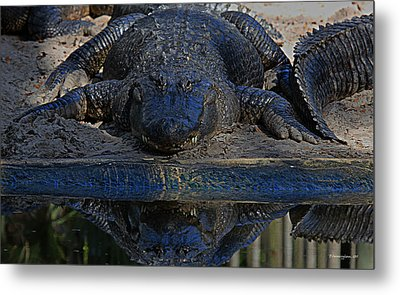 Alligator And Reflection Metal Print by Dorothy Cunningham