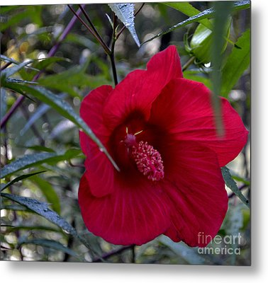 Almost Opened Hibiscus Metal Print by Eva Thomas