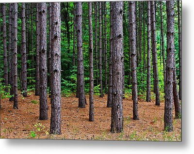 Alone Among The Pines Metal Print by Rachel Cohen