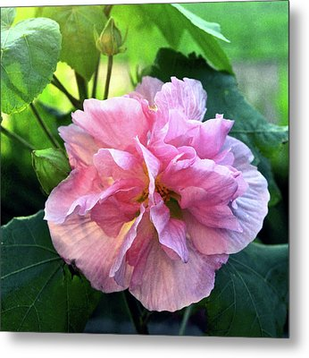 Althea Rose Of Sharon Metal Print by Kevin Smith
