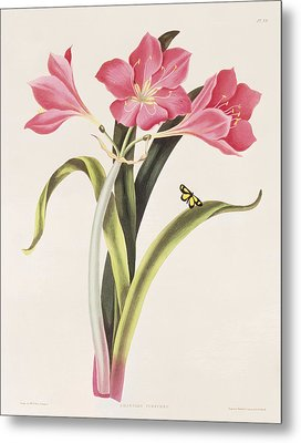 Amaryllis Purpurea Metal Print by Robert Havell