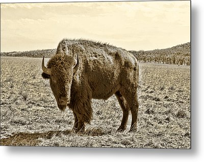 American Bison In Gold Sepia- Right View Metal Print by Tony Grider