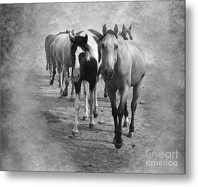 American Quarter Horse Herd In Black And White Metal Print by Betty LaRue