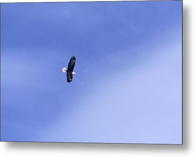 An American Bald Eagle In Flight Metal Print by Heather Perry
