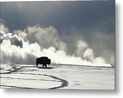 An American Bison Bison Bison Covered Metal Print by Norbert Rosing