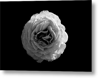 An English Rose Metal Print by Sumit Mehndiratta