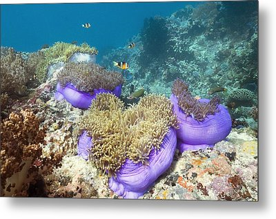 Anemones With Anemonefish Metal Print by Georgette Douwma