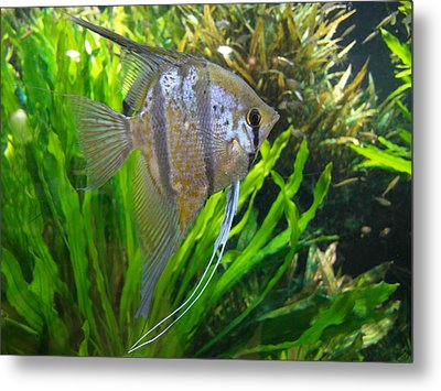 Angel Fish Metal Print by Tanya Moody