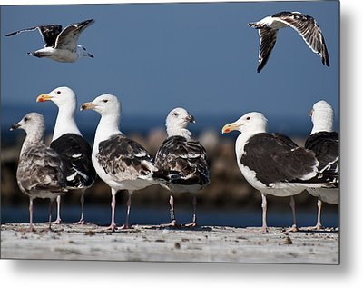 Annual Seagull Congress Metal Print by Michael Mogensen