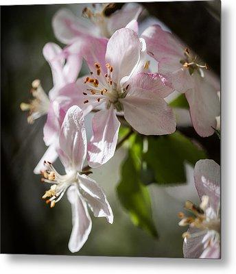 Apple Blossom Metal Print by Ralf Kaiser