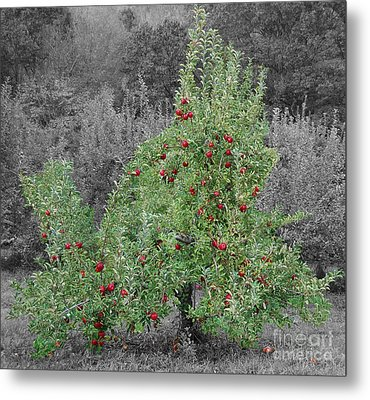 Apple Tree Metal Print by John Small