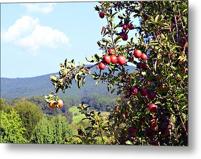Apples On A Tree Metal Print by Susan Leggett
