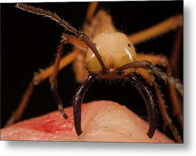 Army Ant Eciton Hamatum Major Worker Metal Print by Mark Moffett