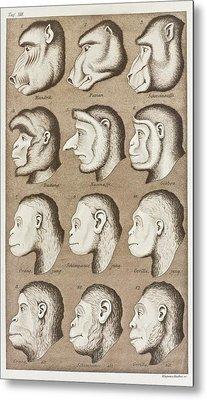Artwork Of Twelve Catarrhines, 1870 Metal Print by Mehau Kulyk