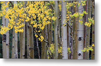 Aspen Gold Metal Print by Adam Pender
