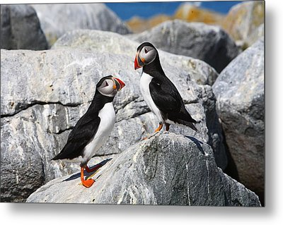 Atlantic Puffins Metal Print by Bruce J Robinson