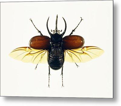 Atlas Beetle Metal Print by Lawrence Lawry