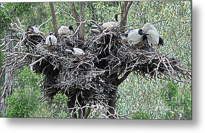 Australian White Ibis With Nests Metal Print by Joanne Kocwin