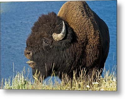Baaa You Come Here Metal Print by Paul Cannon