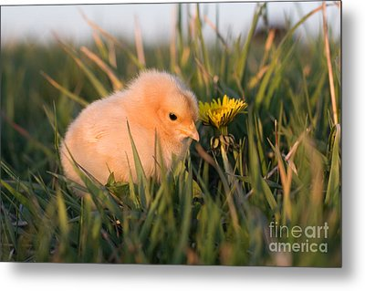 Baby Chick In Green Grass Metal Print by Cindy Singleton