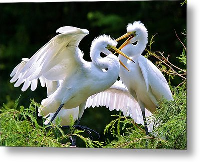 Baby Egrets In The Nest Metal Print by Paulette Thomas