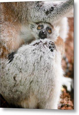 Baby Lemur Metal Print by Andrew  Michael