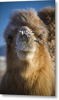 Bactrian Camel Camelus Bactrianus Metal Print by David DuChemin