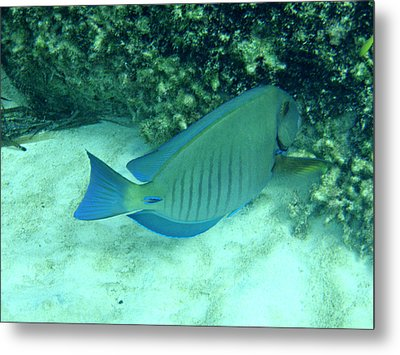 Bahamas Blue Tang Metal Print by Kimberly Perry