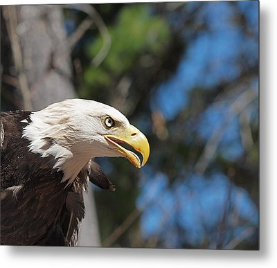 Bald Eagle At Mclane Center Metal Print by Peter Gray