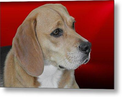 Beagle - A Hound's Hound Metal Print by Christine Till