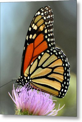 Beautiful Monarch Metal Print by Marty Koch