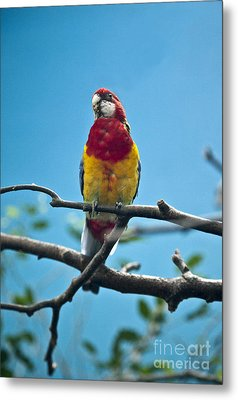 Beautiful Parrot Metal Print by Molly Heng