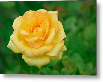 Beautiful Yellow Rose Metal Print by Atiketta Sangasaeng