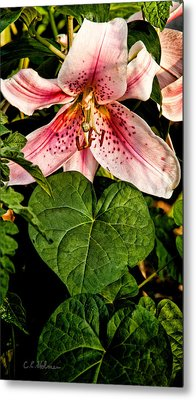 Beauty Metal Print by Christopher Holmes