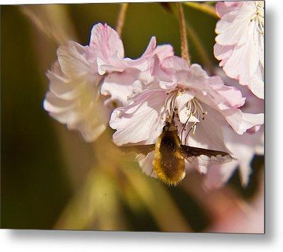 Bee Fly Feeding 1 Metal Print by Douglas Barnett