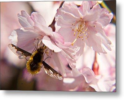Bee Fly Feeding 6 Metal Print by Douglas Barnett