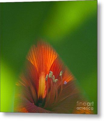 Belladonna Lily Closeup Metal Print by Heiko Koehrer-Wagner
