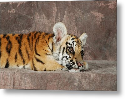 Bengal Cub Metal Print by David Taylor