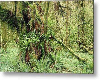 Bigleaf Maple Acer Macrophyllum Trees Metal Print by Gerry Ellis