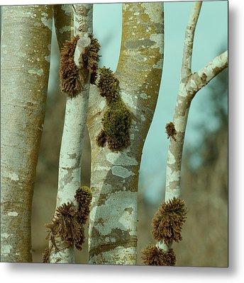 Birch Metal Print by Bonnie Bruno