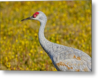 Birds Of Bc - No. 35 - Young Sand Hill Crane Metal Print by Paul W Sharpe Aka Wizard of Wonders
