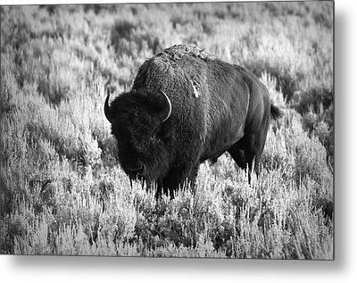 Bison In Black And White Metal Print by Sebastian Musial
