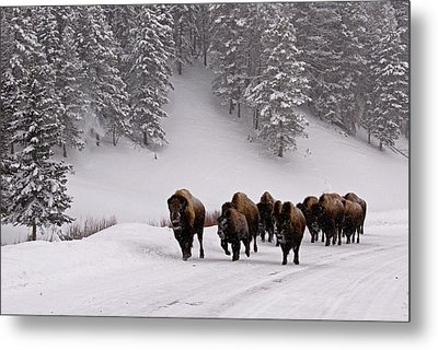 Bison In Winter Metal Print by DBushue Photography