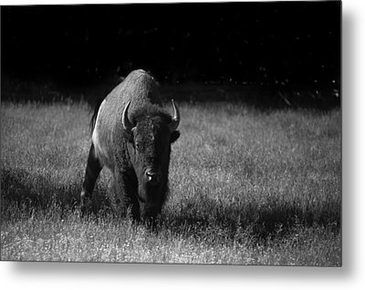 Bison Metal Print by Ralf Kaiser