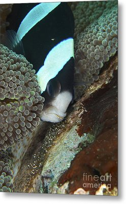 Black And White Anemone Fish Looking Metal Print by Mathieu Meur