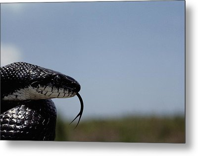 Black King Snake Lampropeltis Getulus Metal Print by Medford Taylor