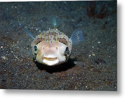 Black-spotted Porcupinefish Metal Print by Georgette Douwma